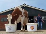 叫板章鱼保罗?这头奶牛对欧联决赛做出预测