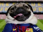 巴萨评出了一周最佳球迷,没错是一只有百万粉丝的巴哥犬