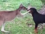 友谊深厚不分物种!首次见面的汪星人和袋鼠会打出怎样的火花