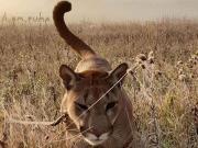 """骚操作,俄罗斯夫妇给收养的美洲狮起名""""梅西"""""""